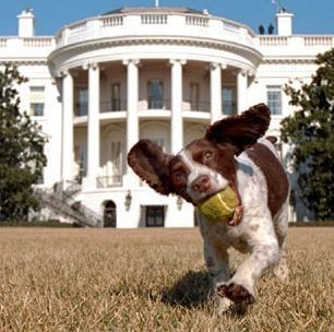 President George W. Bush's dog Spot was an English springer spaniel. She died at 11 years old in February 2004, and was sorely missed by the White House staff and the Bushes. She was the daughter of former President George H.W. Bush's dog Millie.