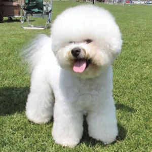 Fluffy and adoraable bischon frise