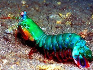 Phylum Arthropoda Subphylum crustacea Class Malacostraca Order Stomatopoda--mantis shrimp