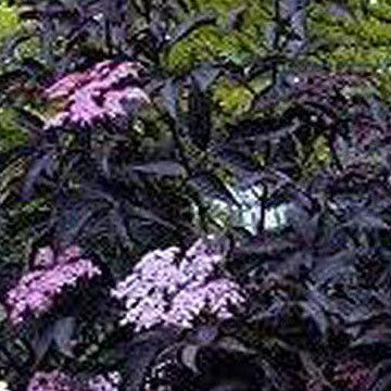 Elderberry Purple Guincho