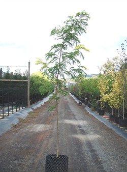 Gleditsia triacanthos Sunburst | Honey Locust Sunburst | Olinda Nurseries | Wholesale nursery Victoria |
