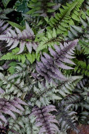 Athyrium-niponicum  Japanese painted ferns. I planted out my painted ferns last year and they are the first ferns off their marks in the foliage race. I do hope they like their new home shaded behind an upturned tree root.