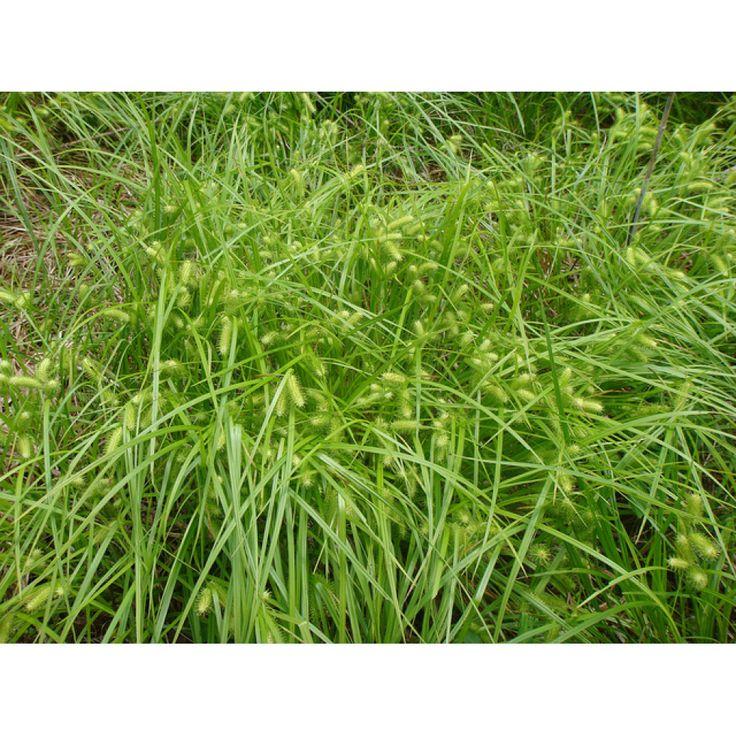 Carex luisant (Carex lurida).  Famille:  Cyperacée.