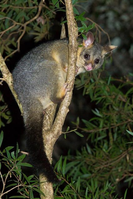 Common Brush-tailed Possum, Trichosurus vulpecula, Australia by AusBatPerson, via Flickr  Our brushtails love to come out and eat some fruit scraps. Grapes are particular favourites!