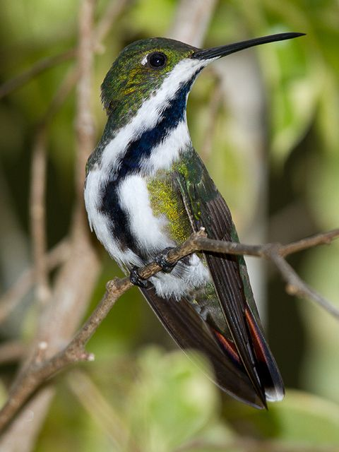 Foto beija-flor-de-veste-preta (Anthracothorax nigricollis) por Justiniano Magnago | Wiki Aves - A Enciclopédia das Aves do Brasil