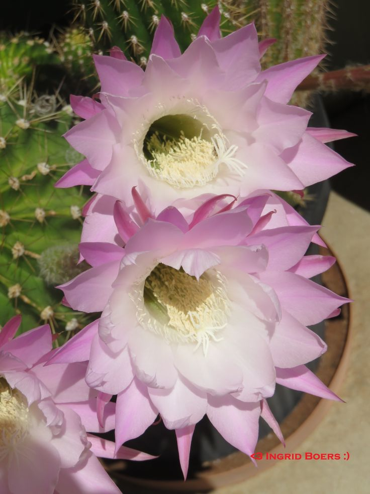 My pretty pink cactus flowers :)