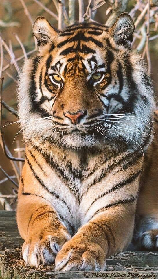 Very undeniably beautiful. A tiger has glowing, amber eyes and is scary to be close too one.