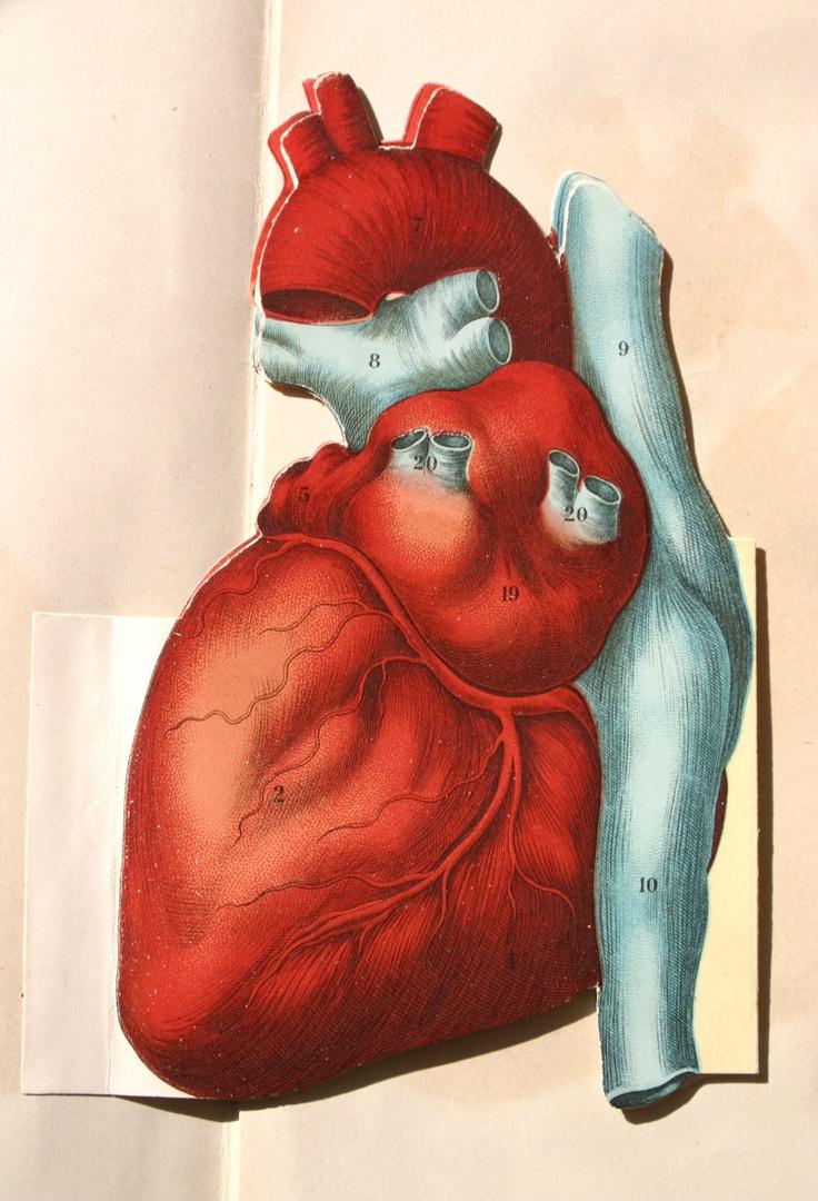 1437 besten Anatomie Bilder auf Pinterest | Herzchen, Anatomie und ...