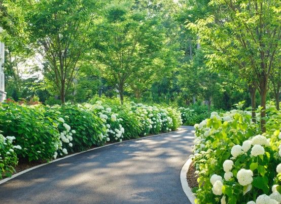 Sweeping tarmac driveway edged with blocks and softened with mature Hydrangea bushes....