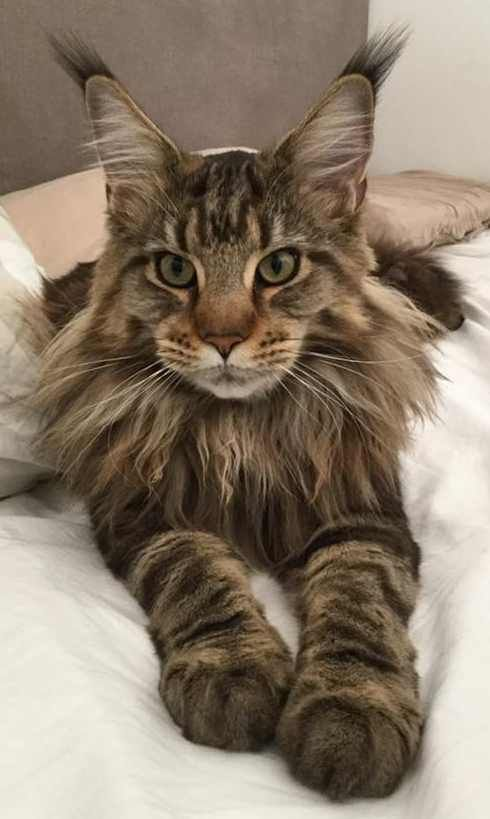 Do Maine Coon Cats Shed Maine Coon Mayhem Cats Maine Coon