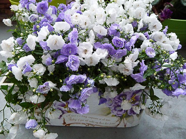 Jardinière de campanules, hors saison, mais si mignonne ! Pour moi (et je suppose pour un grand nombre de jardiniers), les campanules sont des fleurs printanières ou estivales, parfois les deux selon les espèces ou variétés. Mais avec la mode des plantes forcées et fleuries hors saison, on trouve désormais ces charmantes petites plantes vivaces du 1er janvier au 31 décembre. http://www.pariscotejardin.fr/2013/02/jardiniere-de-campanules-hors-saison-mais-si-mignonne/