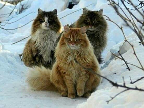Norwegian  mountain cats