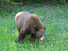 American black bear - Wikipedia, the free encyclopedia