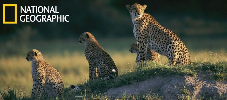Stop poaching against cheetahs, elephants, lions, etc. by donating to the National Geographic Society.