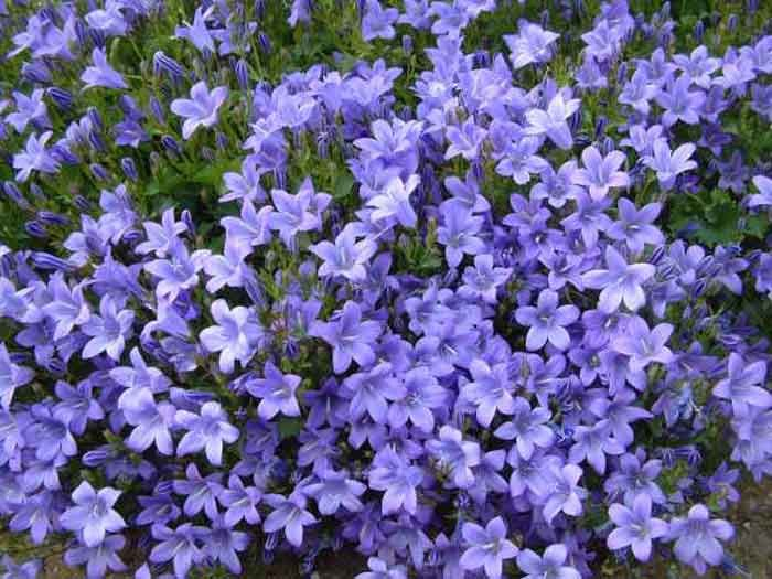 Periwinkle is a ground cover with the most beautiful - Plants with blue flowers a splash of colors in the garden ...