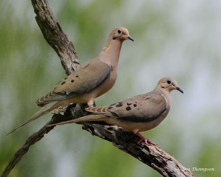 The graceful mourning doves are our most friendly visitors. If you're very still they will get quite close to you. They usually hang around in pairs and you can hear their sad sounding call echoing through the woods.