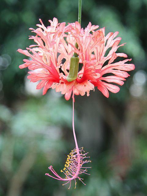 Hibiscus schizopetalus - exotic flowers