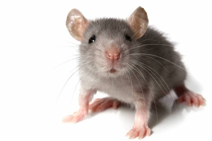 Borax Could Make These 25 Tasks So Much Easier Getting Rid Of Mice How To Deter Mice Mice Control