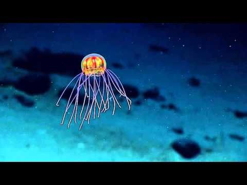 Gorgeous Footage of a Colorful Medusae Jellyfish Ethereally Gliding Through Deep Waters