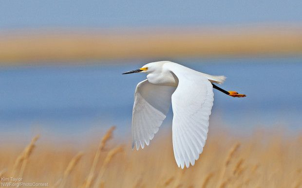 An egret in flight over the Bombay Hooke National Wildlife Refuge. Photo donated by National Wildlife Photo Contest entrant Kim Taylor.