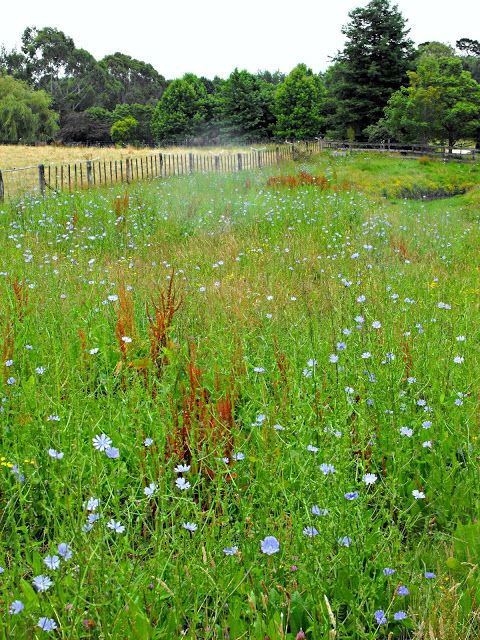 A wildflower meadow full of chicory flowers.