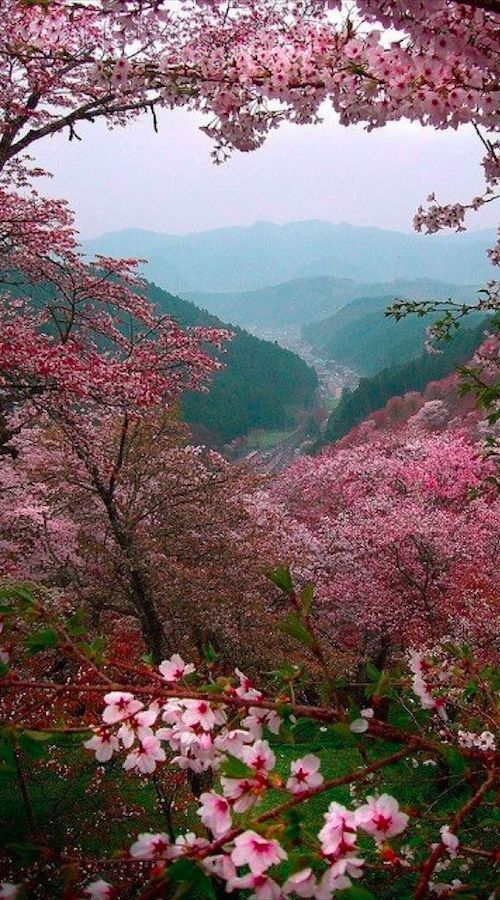 Spring Pictures in Japan - Sakura Cherry Blossoms overlooking in Yoshino, Japan