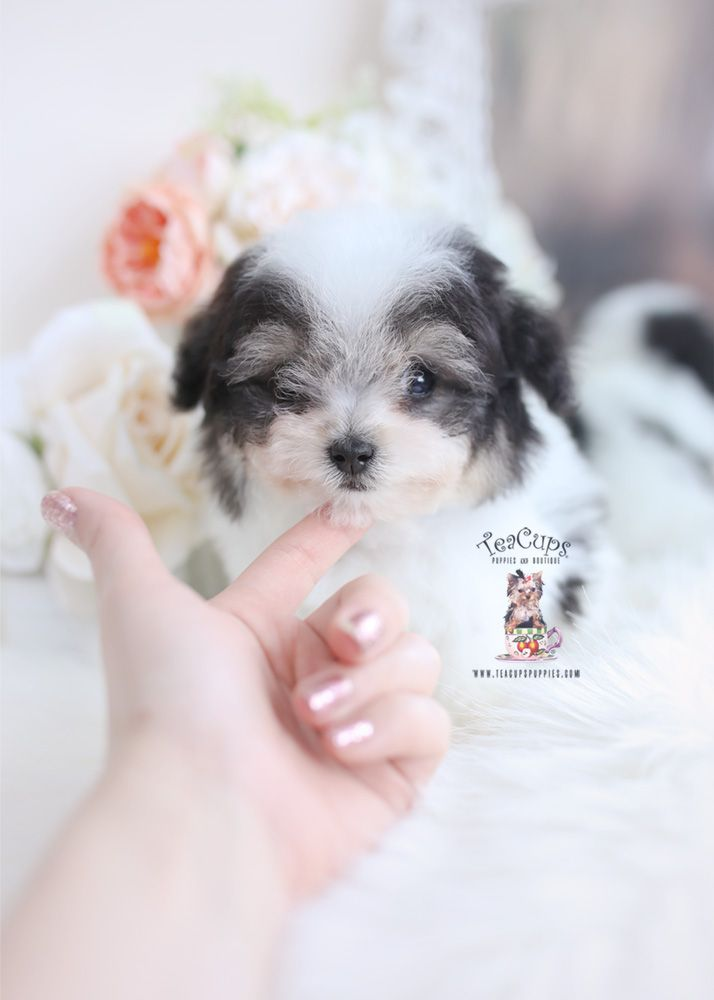 Toy Poodle Puppy For Sale Teacup Puppies 163 C Teacup Puppies