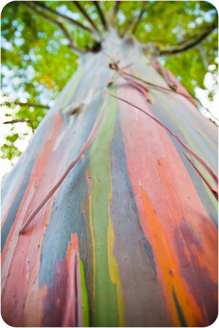 SO cool: the rainbow eucalyptus - a real tree whose bark changes depending on the season.
