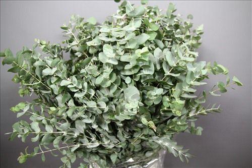 Best 20+ Eucalyptus Cinerea Ideas On Pinterest