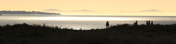 Point Reyes National Seashore (August 2011) - California : Tule elk silhouetted against sunlight reflecting off of Drakes Bay.