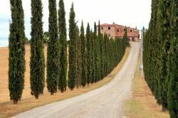 Cupressus sempervirens 'glauca' Conifer - Italian Cypress Pencil Pine Blerick Trees Buy Online Trees Advanced Trees, Screening Plants, Fruit Trees