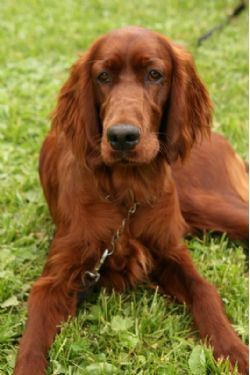 Ella is an Irish Setter (aka Red Setter) and, as is characteristic of her breed, she is graceful, agile and intelligent. She is also gentle, kind, and even-mannered. Setters have a high ability to problem solve and think independently. Account planner?