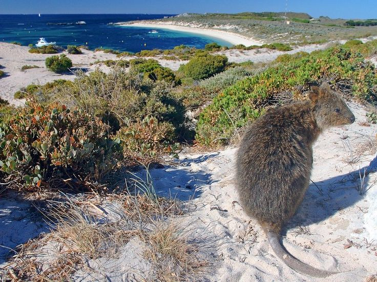Rottnest Island. The unappealing name is due to the island's population of quokkas, friendly and harmless little marsupials not found anywhere else in the world, who were mistaken for large rats by Dutch sailors in the 17th century. Visitors rent bikes to reach lighthouses, inland lakes, and the ocean beaches with renowned snorkeling.