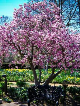 Magnolia Tree For Sale Online The Tree Center Gardening