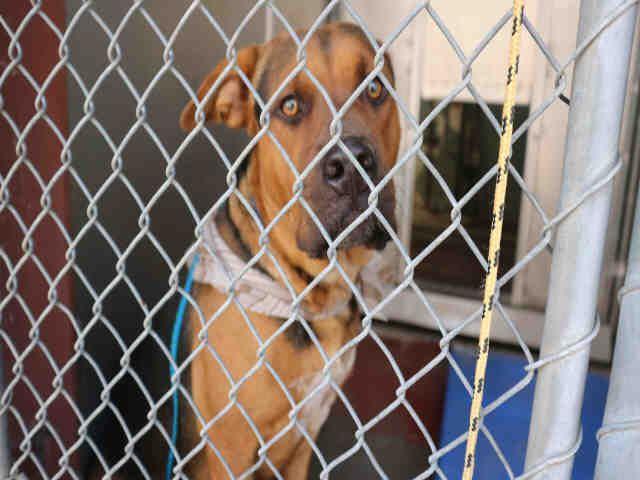 Rottweiler-American Pit Bull Terrier dog for Adoption in Redlands, CA. ADN-591800 on PuppyFinder.com Gender: Male. Age: Adult