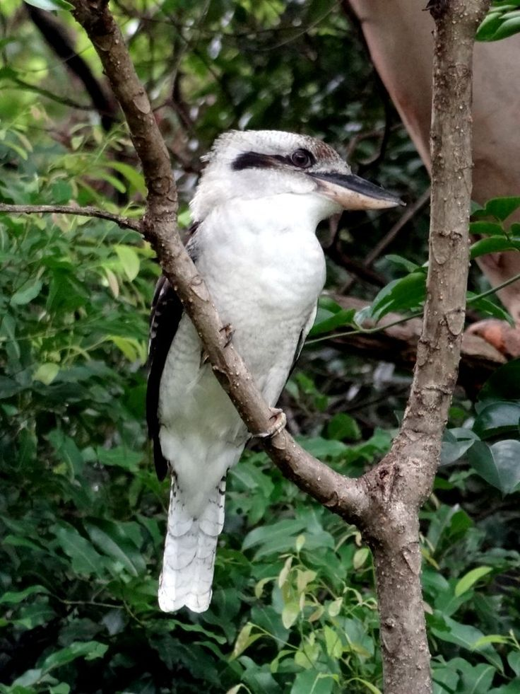 According to Aboriginal Lore, Kookaburra was created by the Keeper of the Sun to awaken birds, animals and humans with its laughter at dawn, and to bring joy into the world.