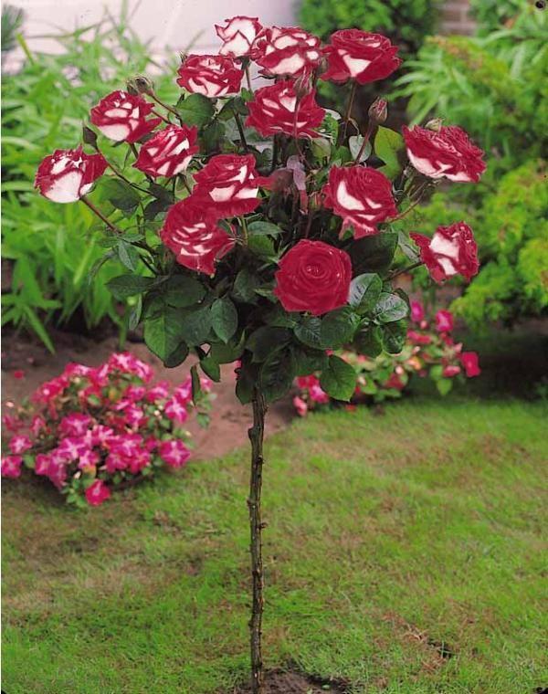Les 36 meilleures images du tableau mini plantes pour for Rosier jardin de france