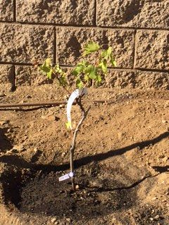 Here is a newly planted grape vine that was bought up in the Napa Valley area.