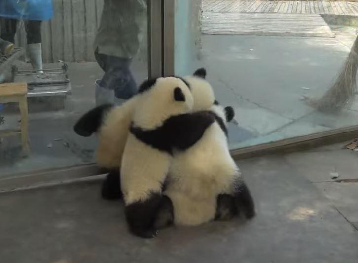 Sabe o que é um 'pandemônio'?  É quando se tenta limpar o espaço de ursos panda! Veja...