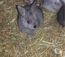 Photos Vivastreet lapins nains angora