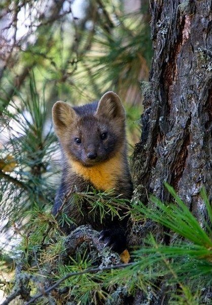 """American marten (Martes americana) is a North American member of the family Mustelidae, sometimes referred to as the pine marten. The name """"pine marten"""" is derived from the common but distinct Eurasian species of Martes. It differs from the fisher (Martes pennanti) in that it is smaller in size."""