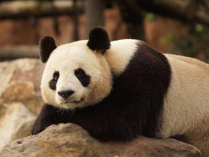 ZooParc de Beauval - Route du Blanc, 41110 Saint-Aignan #zoobeauval #panda #valdeloire #destinationbeauval #saintaignan