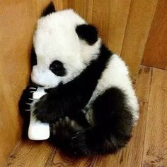 Giant Panda cub drinking milk in China on December 5, 2016. © People's Daily, China