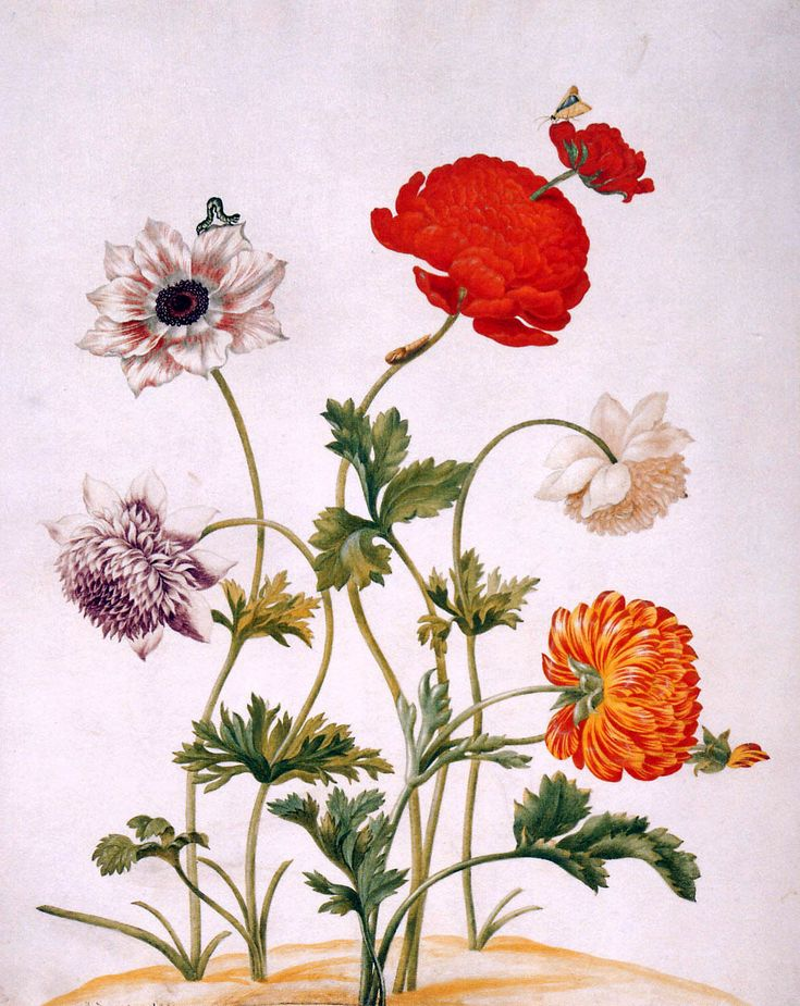Maria Sibylla Merian     Maria Sibylla Merian was a naturalist and scientific illustrator who studied plants and insects and made detailed paintings about them