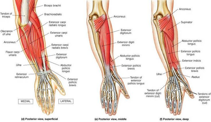 In human anatomy, the supinator is a broad muscle in the posterior compartment of the forearm, curved around the upper third of the radius. Description from imgarcade.com. I searched for this on bing.com/images