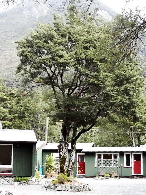 Beech Tree. (Nothofagus species) NZ native. photographed at Arthurs Pass