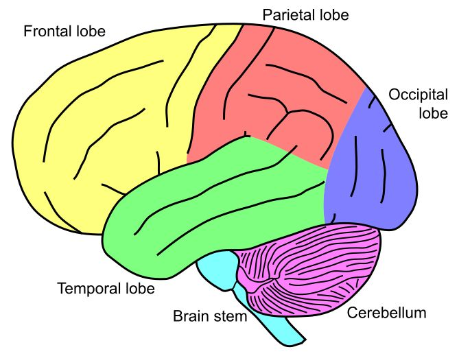 The cerebellum is the area of the hindbrain that controls motor movement coordination, balance, equilibrium and muscle tone. Like the cerebral cortex, the cerebellum is comprised of white matter and a thin, outer layer of densely folded gray matter. The folded outer layer of the cerebellum (cerebellar cortex) has smaller and more compact folds than those of the cerebral cortex. The cerebellum contains hundreds of millions ofneurons for processing data.Science Didnt, Compact Folding, Gray Matter, Cerebral Cortex, Brain Geek, Didnt Teaching, Outer Layered, Motors Movement, Cerebellar Hemorrhage