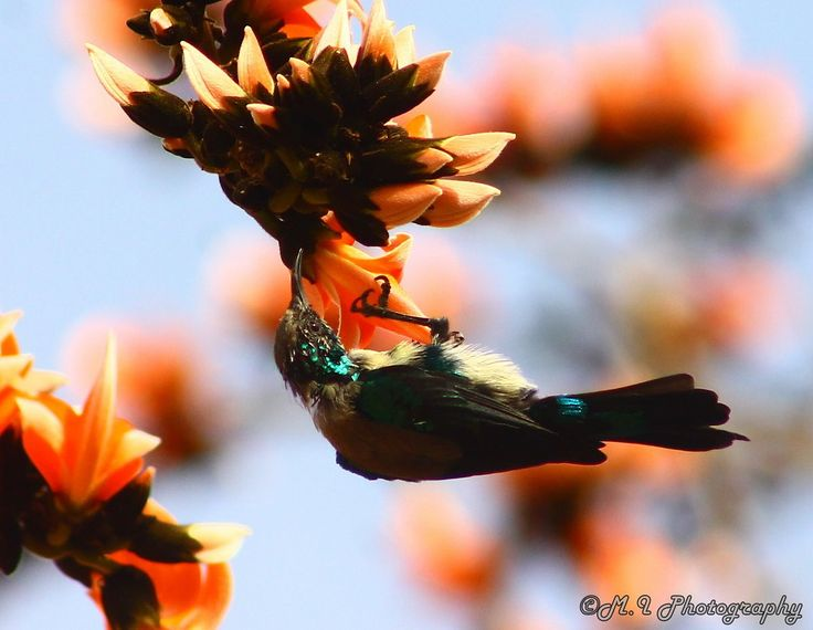 Photograph Nile Valley Sunbird by Mohamed Ismael on 500px