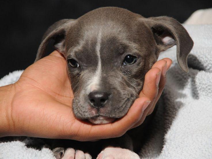Trainning Blue Nose Pitbull Puppies