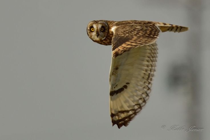 Here's lookin' at ya kid!  This short eared owl is watching me watch him.  Print available on etsy.com at natureartgallery.
